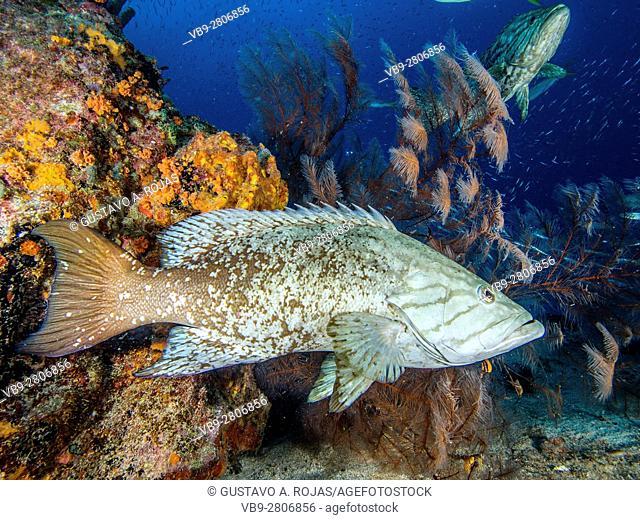 1 animals - corals - Mycteroperca acutirostris- los roques venezuela