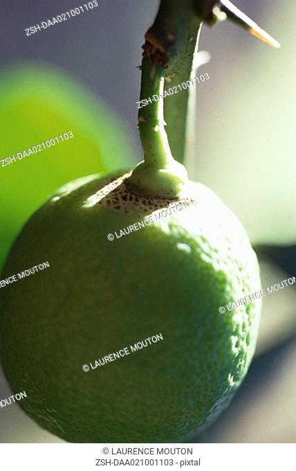 Lime growing on tree, extreme close-up