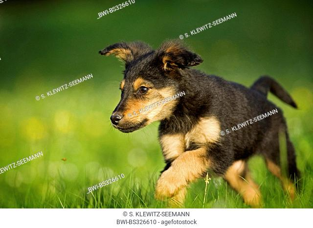 mixed breed dog (Canis lupus f. familiaris), whelp walking across a meadow, mix breed dog of Old German Sheepdog and dachshund, Germany