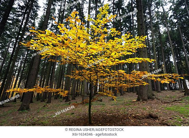 Beech Tree Fagus sylvatica, in Autumn Colour ,standing in Fir Monoculture Forestry, Lower Saxony, Germany