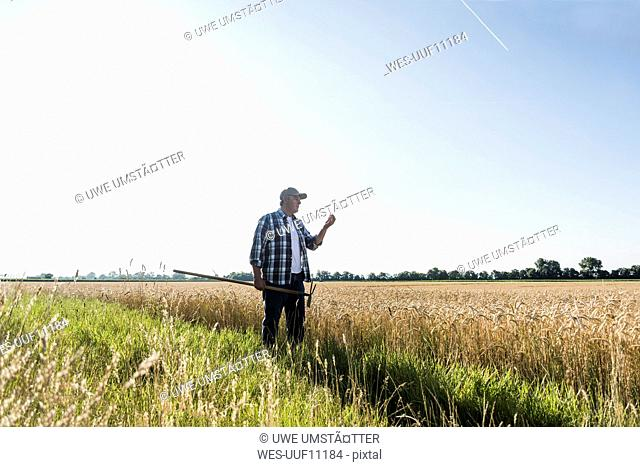 Senior farmer standing in front of a field examining ears