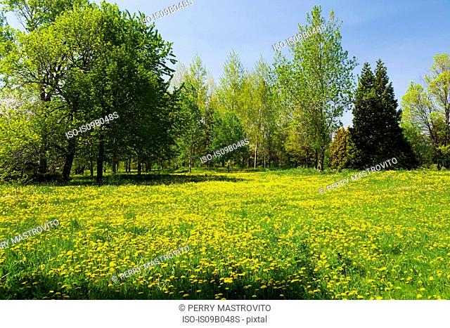 Green grass field with yellow Taraxacum - Dandelion flowers bordered by deciduous and evergreen trees in spring
