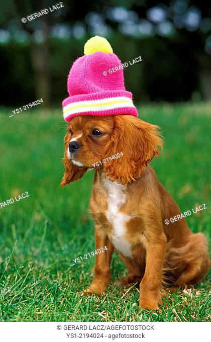 Cavalier King Charles Spaniel Dog, Puppy with Bonnet on its head