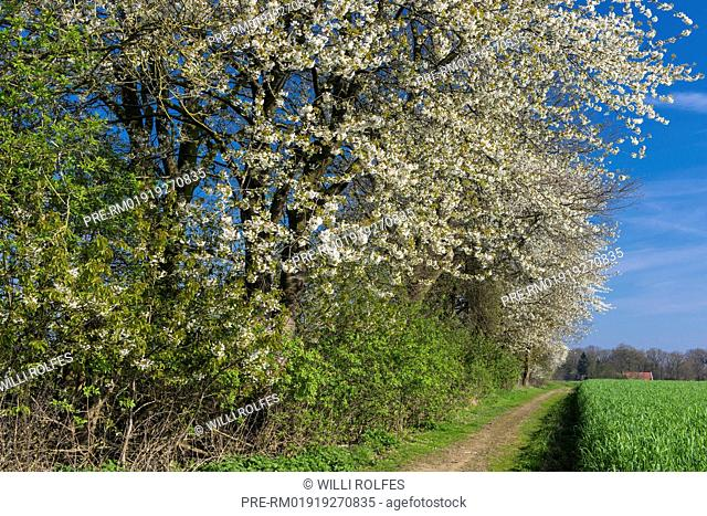 Blooming Cherry Tree at a hedge bank, Oldenburg Münsterland, Niedersachsen, Germany / Blühender Kirschbaum an eine Wallhecke, Oldenburger Münsterland