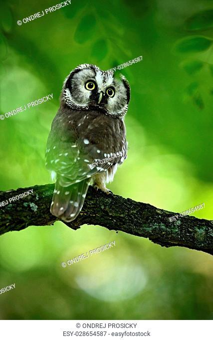 Small bird Boreal owl, Aegolius funereus