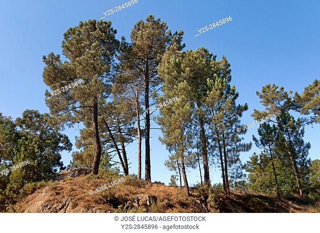 Pines, Santa Maria de Castromao - Celanova, Ourense province, Region of Galicia, Spain, Europe