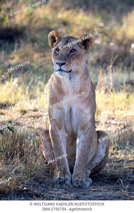A lioness (Panthera leo) in the Masai Mara National Reserve in Kenya
