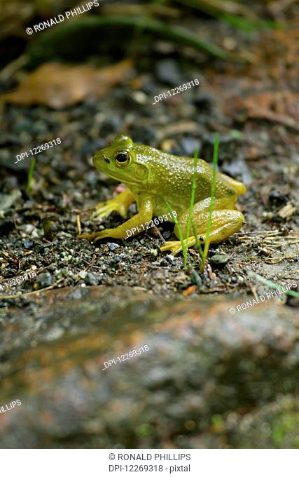 Northern Green Frog (Rana clamitans melanota), Acadia National Park; Maine, United States of America