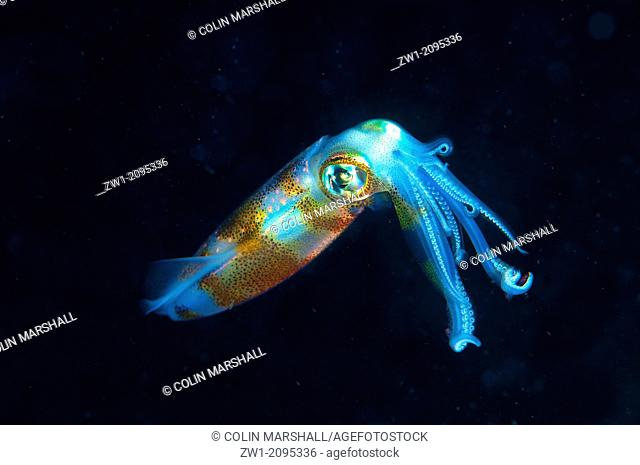 Bigfin Reef Squid (Sepioteuthis lessoniana) at night at TK1 dive site in Lembeh Straits in Sulawesi in Indonesia