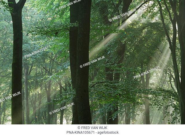 Beech Fagus sylvatica - Planken Wambuis, Ede, Veluwe, Guelders, The Netherlands, Holland, Europe