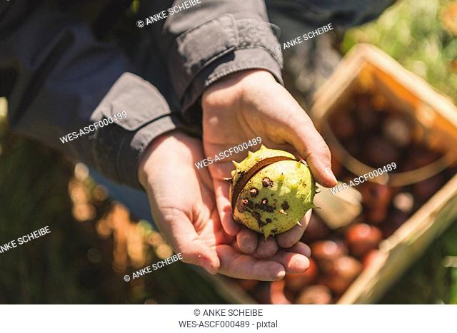 Boy holding chestnut in hand, close up