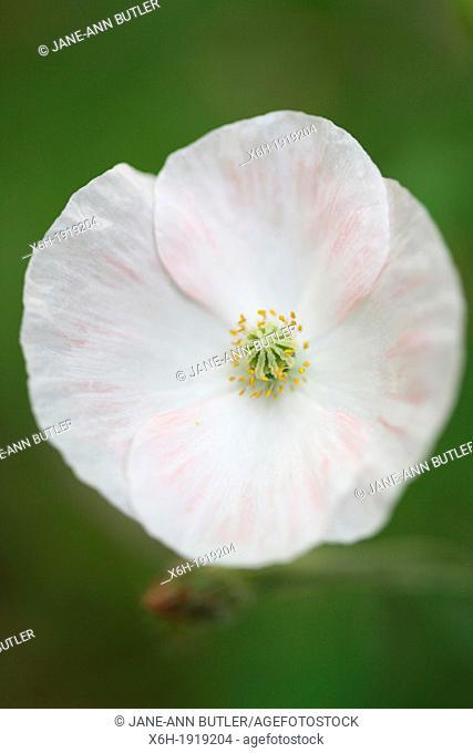 dainty white wild poppy