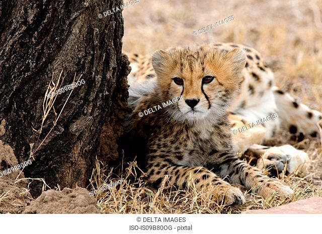 Cheetah cub (Acinonyx jubatus), Masai Mara, Kenya