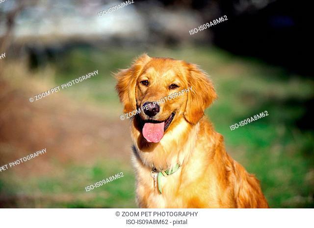 Portrait of golden retriever in sunlight