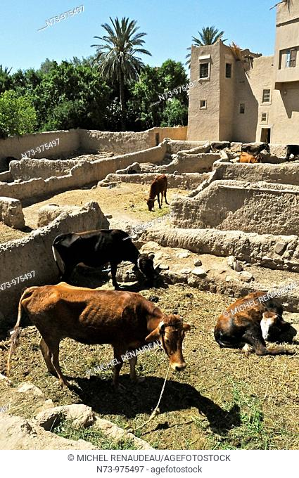 Maroc, Ksar Goulmima, parc à bestiaux à l'intérieur, Sud, Marocain