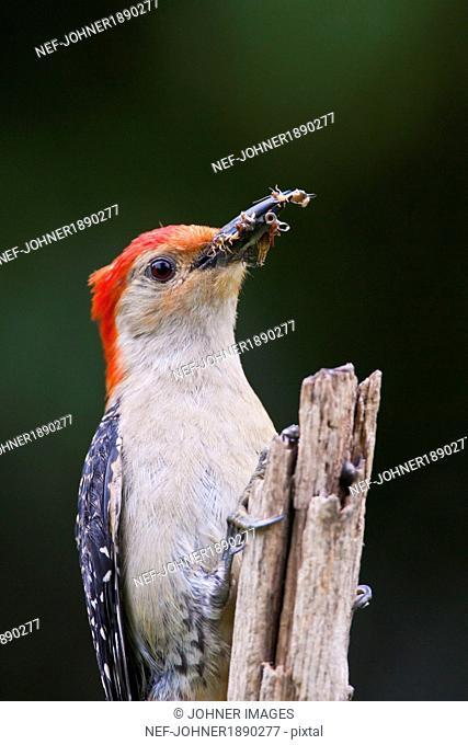 Bird with earwigs, North Carolina, USA