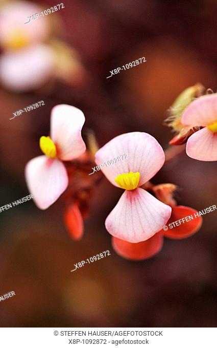 Begonia Begonia bowerae 'Rubra'