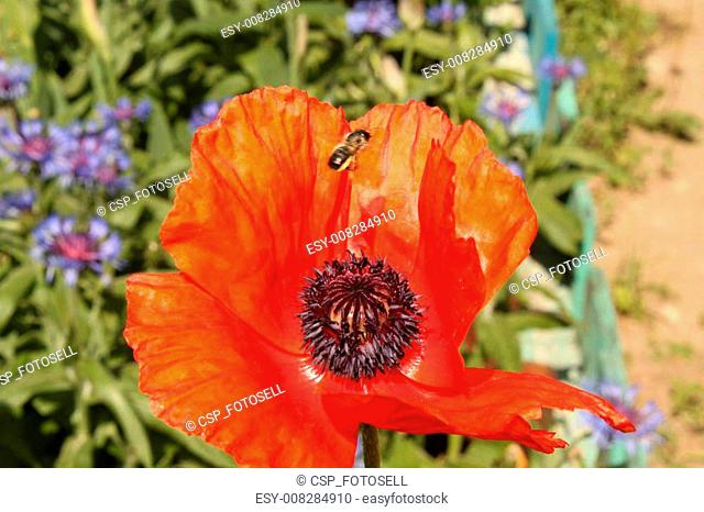 bee collects nectar from a poppy