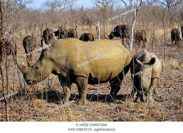 White Rhinoceros, Ceratotherium simum, Ulusaba Sir Richard Branson's Private Game Reserve, Sabi Sands Game Reserve, Mpumalanga, South Africa, rhinos, rhino