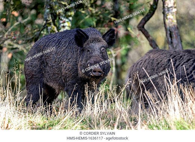 France, Haute Saone, Private park, Wild Boar (Sus scrofa)