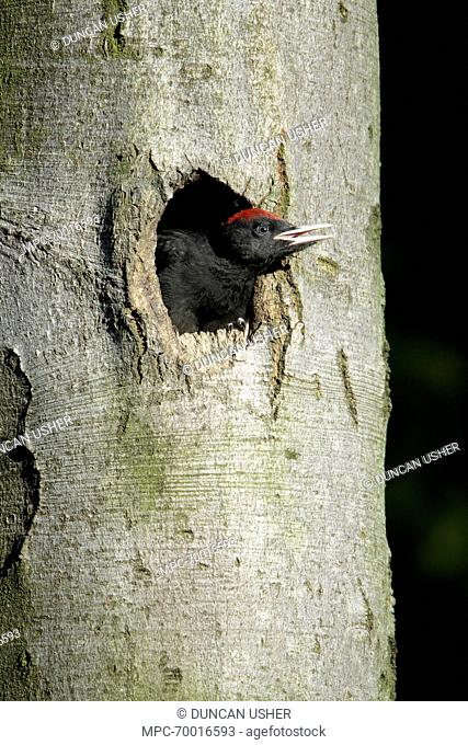 Black Woodpecker (Dryocopus martius) chick at nest entrance, Lower Saxony, Germany