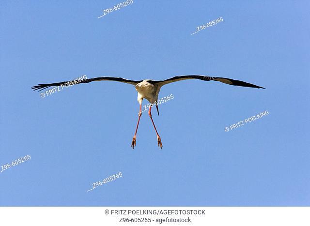 European Stork (Ciconia alba). Lake Ndutu, Serengeti, Tanzania, Africa