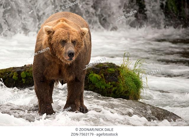 A brown bear is standing in front of a rock covered in green moss in Brooks River, Alaska. It is fishing for salmon just below Brooks Falls