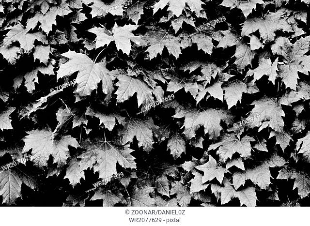 b/w leaves background