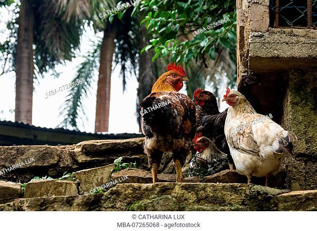 Cuba, nature reserve, Las Terrazas, farm, cock, chicken