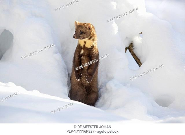 European pine marten (Martes martes) emerging from gap and standing upright in the snow in winter