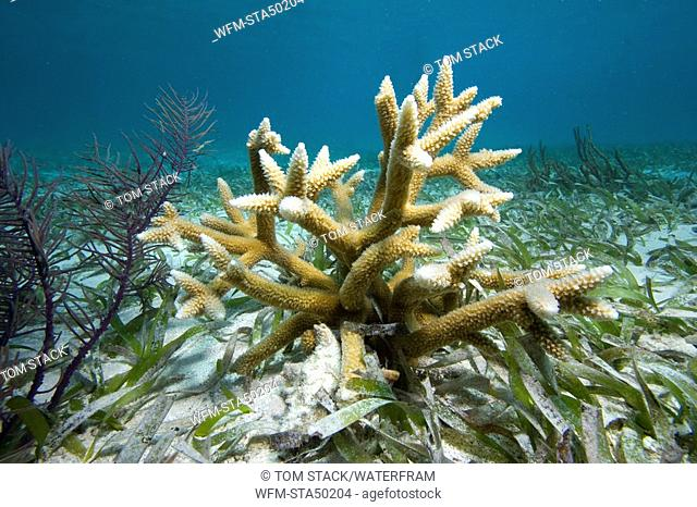 Staghorn Coral, Acropora cervicornis, Florida Keys National Marine Sanctuary, USA