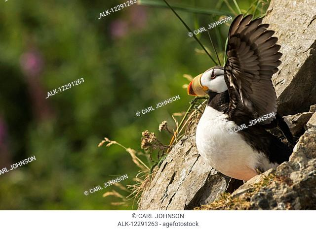 A horned puffin spreads its wings on Chisik Island in the Tuxedni Wilderness Area