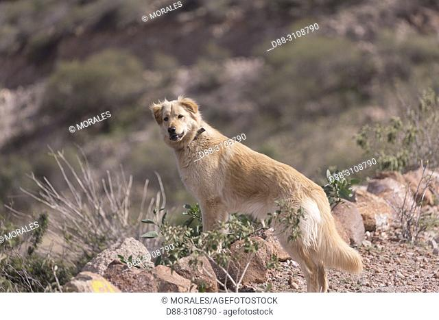 Central America, Mexico, Baja California Sur, Sierra San Francisco, Village of San Francisco, Ranch Palo Rayo, domestic dog