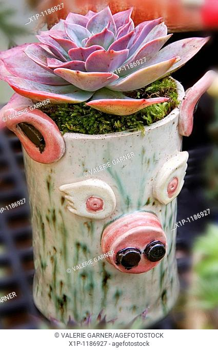 his cute clay planter was made by Grewsome Gardens permission to photo and this gorgeous succulent plant is called Echevaria Afterglow of the Crassulaceae...