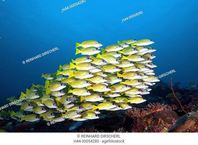 Shoal of Bluestripe Snapper, Lutjanus kasmira, South Male Atoll, Maldives