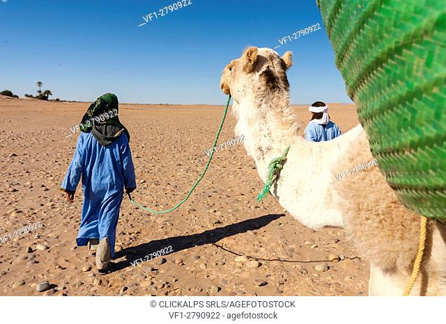 M'Hamid, Morocco. Tourist walking on the desert with camels and berber guides