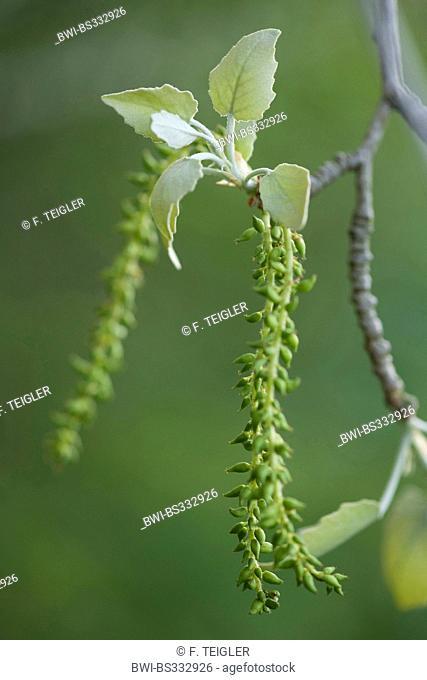 white poplar, silver-leaved poplar, abele (Populus alba), young infructescence, Germany