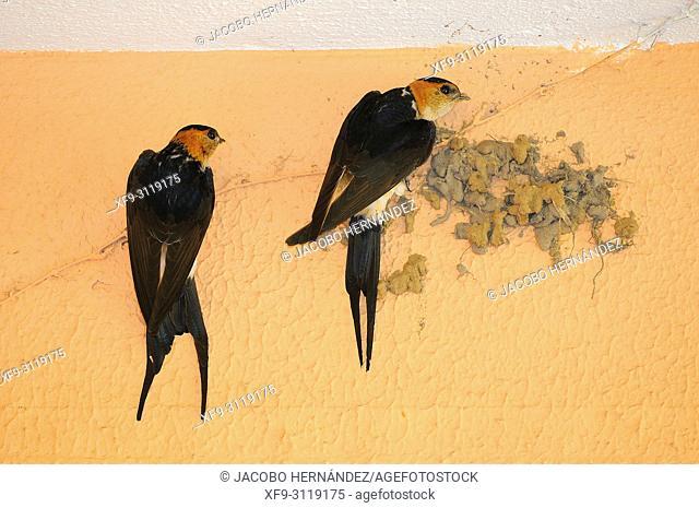 Red-rumped Swallow (Cecropis daurica) Badajoz. Extremadura. Spain