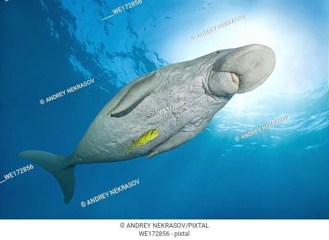 Dugong or Sea Cow (Dugong dugon) swims under surface of the blue water. Red Sea, Hermes Bay, Marsa Alam, Egypt, Africa