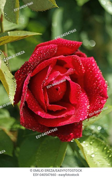 Droplets on rose flower