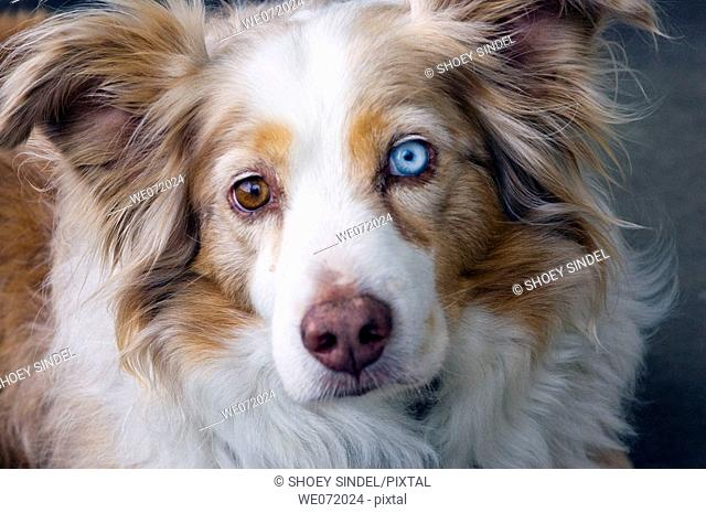 Australian Shephard with two-toned eyes