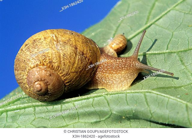 adult and juvenile snails, Helix Aspersa Maxima, Aube department, Champagne-Ardenne region, France, Europe