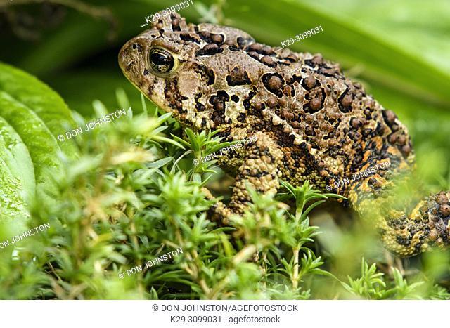 American Toad - Bufo americanus. Large specimen inhabiting an outdoor garden, Greater Sudbury, Ontario, Canada