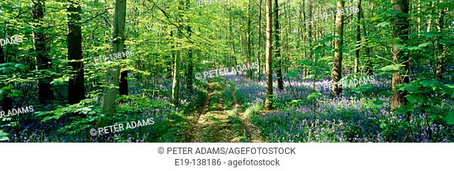 Bluebells in a wood in Gloucestershire, UK