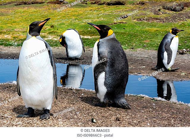 King penguins (Aptenodytes patagonica), at water pond, Port Stanley, Falkland Islands, South America