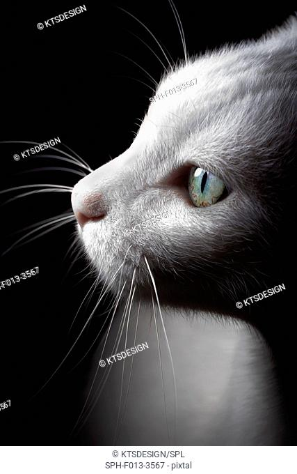 White cat, portrait