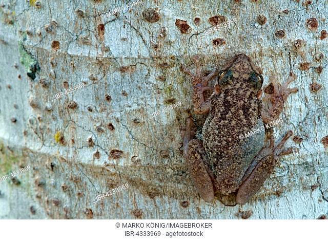Lesser Snouted Treefrog (Scinax nasicus) on tree bark, Pantanal, Mato Grosso, Braslien