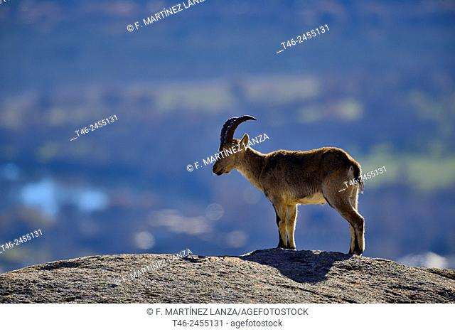 Spanish ibex (Capra pyrenaica). La Pedriza, Parque Regional de la Cuenca Alta del Manzanares, Madrid province, Spain