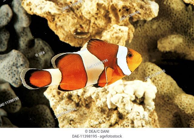 Zoology - Fishes - Perciformes - Pomacentridae - False Percula Clownfish (Amphiprion ocellaris) swimming in sea