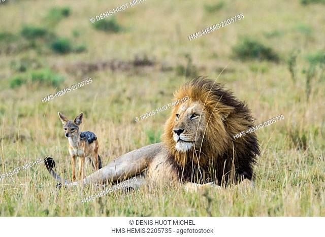 Kenya, Masai-Mara game reserve, Lion (Panthera leo), male followed by a black-backed jackal (Canis mesomelas)